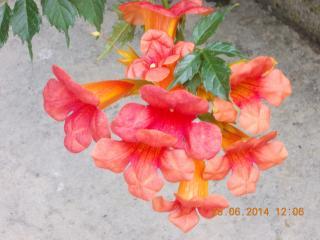 Takoma (Campsis radicans) in full bloom